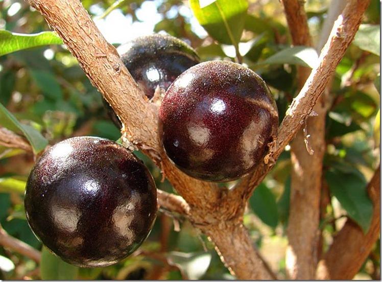 Le Jabuticaba ... L'arbre dont les fruits sont sur son tronc. Arbre411