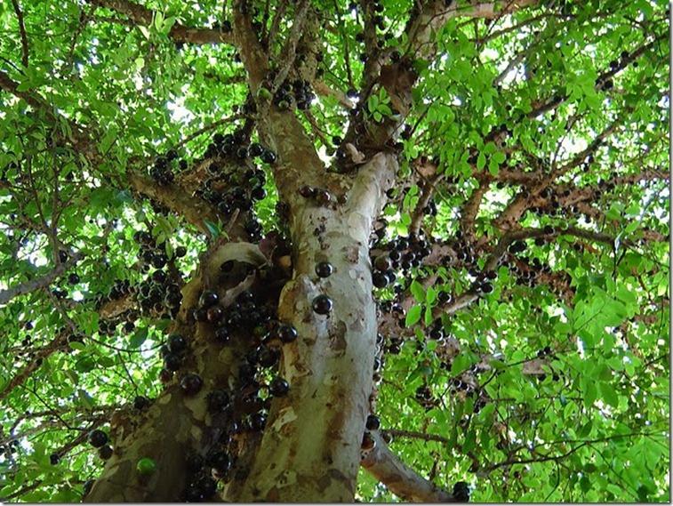 Le Jabuticaba ... L'arbre dont les fruits sont sur son tronc. Arbre610