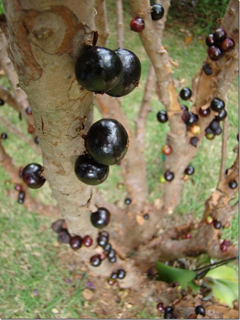 Le Jabuticaba ... L'arbre dont les fruits sont sur son tronc. Arbre710