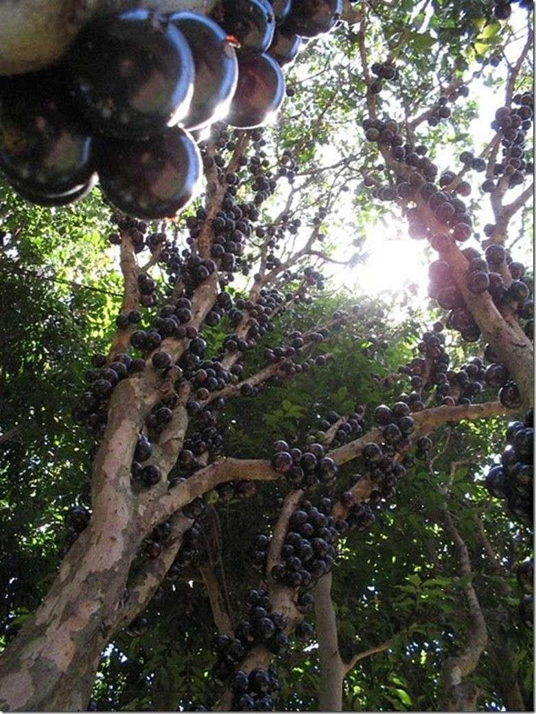 Le Jabuticaba ... L'arbre dont les fruits sont sur son tronc. Arbre810
