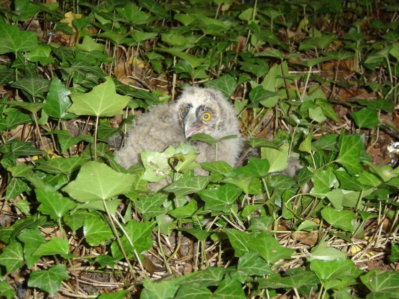 un bébé hiboux moyen duc tombé du nid Babahi10