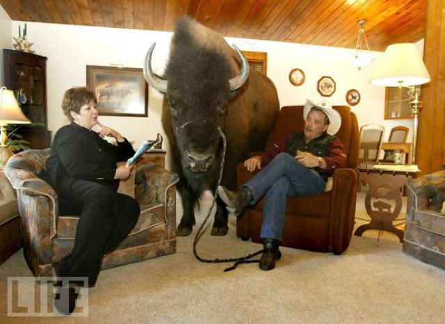 un bison comme animal de compagnie Bison010