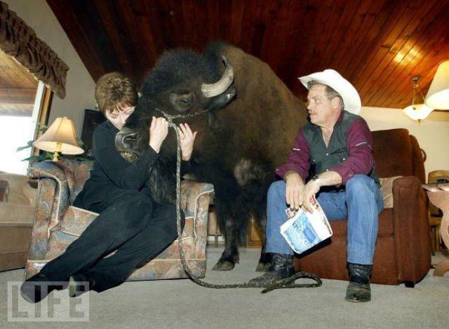 un bison comme animal de compagnie Bison011