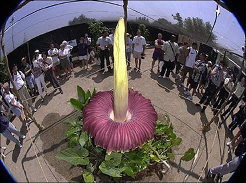 la plus grosse fleur du monde Image031