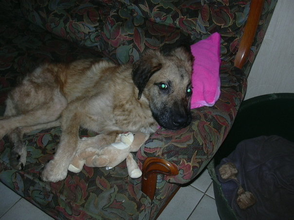Oscar 8 mois, le survivant de Villecomtal, cherche sa famille définitive Oscar510