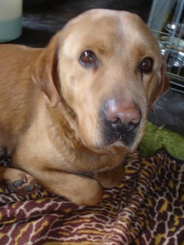 Croisé-Labrador blessé (Belgique) Beauss10
