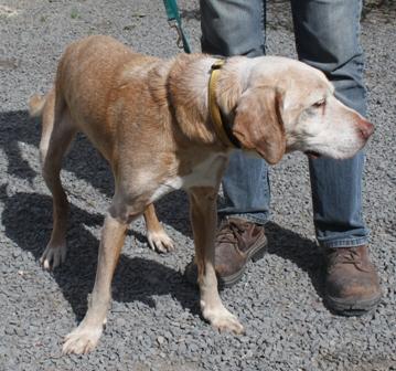 BEN mâle croisé labrador sable plus de 10 ans - ADOPTE - Ben-210
