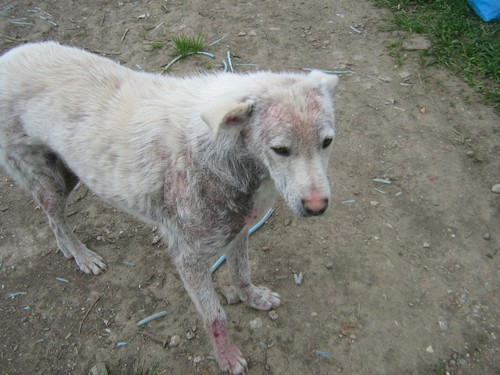 Le Grand Blanc, 2 ans, gravement atteint par la demodecie (Roumanie) Blanc-10
