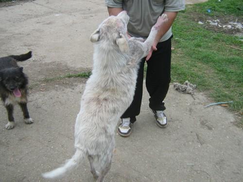 Le Grand Blanc, 2 ans, gravement atteint par la demodecie (Roumanie) Blanc-11