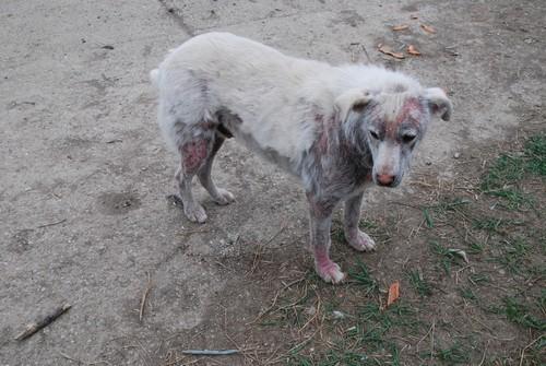Le Grand Blanc, 2 ans, gravement atteint par la demodecie (Roumanie) Blanc-13