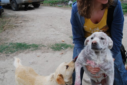 Le Grand Blanc, 2 ans, gravement atteint par la demodecie (Roumanie) Blanc-18