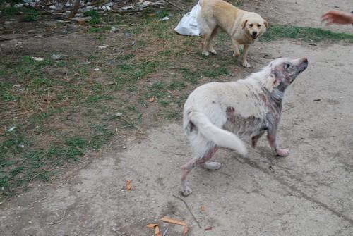 Le Grand Blanc, 2 ans, gravement atteint par la demodecie (Roumanie) Blanc-19