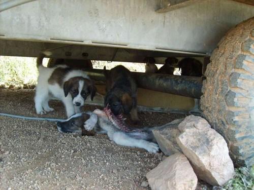 Sos-Décharge vous lance un appel désespéré (association pour les chiens de Corse) Chiot_10