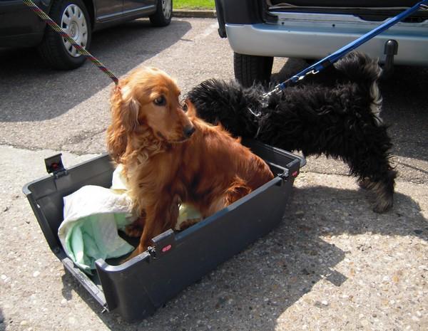 Covoiturage de 6 chiens (15 mai 2010) Cocker14