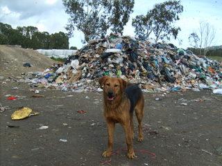 Sos-Décharge vous lance un appel désespéré (association pour les chiens de Corse) Dcharg10