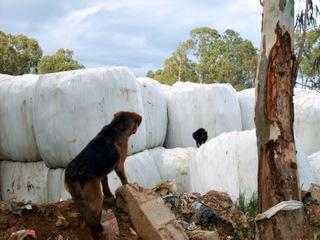 Sos-Décharge vous lance un appel désespéré (association pour les chiens de Corse) Dcharg11