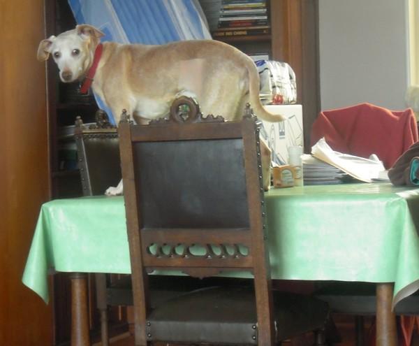 L'aurait peut-être bien du Whippet (5 avril 2010) Diane-31