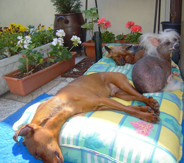 Flam, pinscher nain 2 ans, asso Cani nursing, Dunkerque ADOPTE - Page 2 Flam-c14
