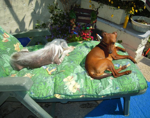 Flam, pinscher nain 2 ans, asso Cani nursing, Dunkerque ADOPTE - Page 2 Flam-d10