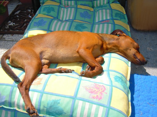 Flam, pinscher nain 2 ans, asso Cani nursing, Dunkerque ADOPTE - Page 2 Flam-m11