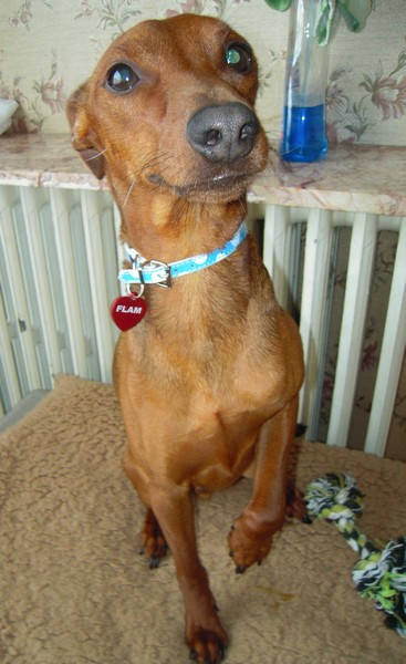 Flam, pinscher nain 2 ans, asso Cani nursing, Dunkerque ADOPTE - Page 2 Flam-m12
