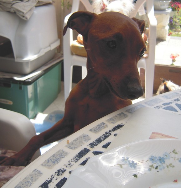 Flam, pinscher nain 2 ans, asso Cani nursing, Dunkerque ADOPTE - Page 2 Flam-t13