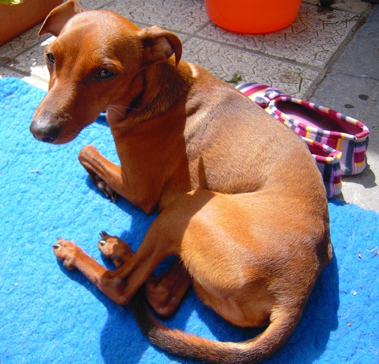 Flam, pinscher nain 2 ans, asso Cani nursing, Dunkerque ADOPTE - Page 2 Flam-t16
