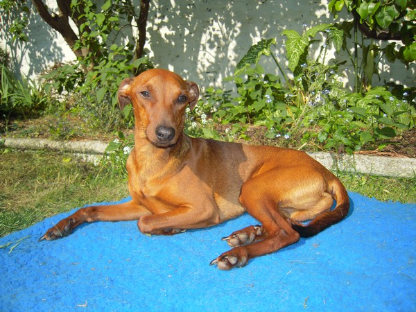 Flam, pinscher nain 2 ans, asso Cani nursing, Dunkerque ADOPTE - Page 2 Flam-t20