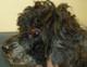 NUSSIA (femelle caniche nain de 13 ANS) - aveugle