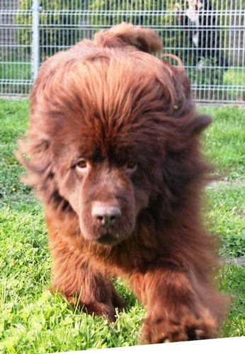 Covoiturage de 4 chiens (24 avril 2010) Nougat11
