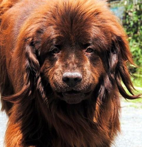 Covoiturage de 4 chiens (24 avril 2010) Nougat14