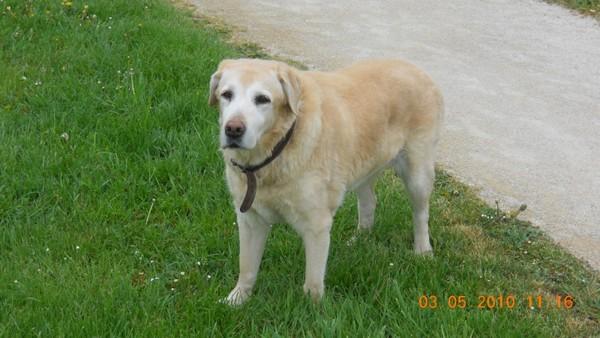 OPHELIE - femelle Labrador de 13 ans Opheli10