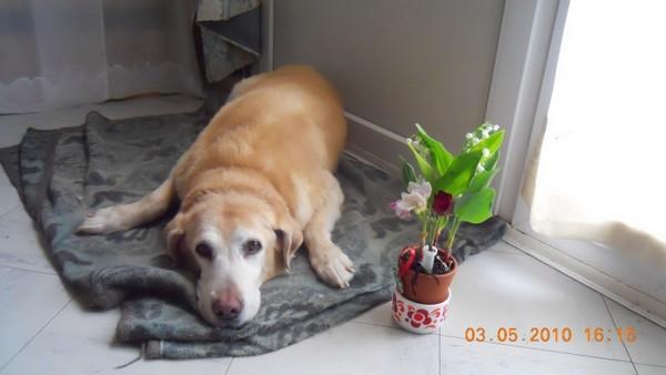 OPHELIE - femelle Labrador de 13 ans Opheli11