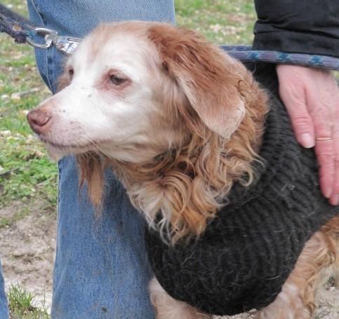 ORANE épagneul breton femelle de 12 ans au refuge de Filémon (80) Orane-10