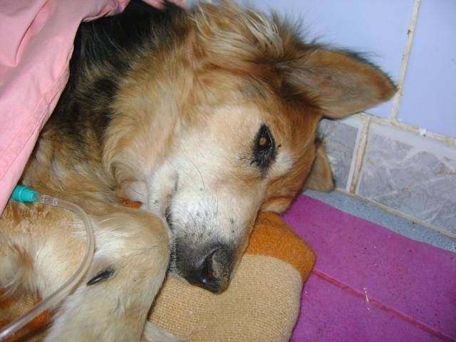 """Une pauvre chienne arrivée au refuge """"bouffée"""" par les asticots!!!! Roxa-210"""