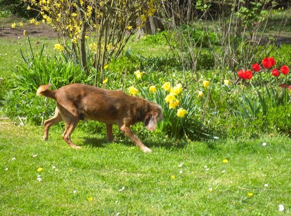 Promenade au jardin (17 avril 2010) Toby-j11