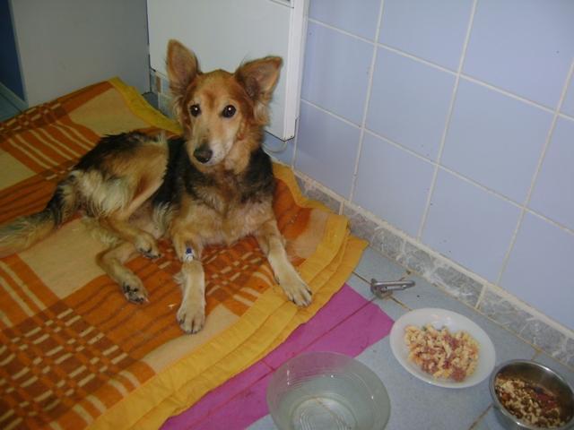 """Une pauvre chienne arrivée au refuge """"bouffée"""" par les asticots!!!! Victoi10"""