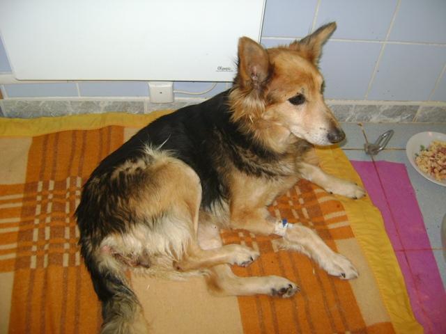 """Une pauvre chienne arrivée au refuge """"bouffée"""" par les asticots!!!! Victoi11"""