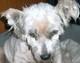 WHITE (mâle Westie de 9 ANS) - problème aux oreilles et aux yeux