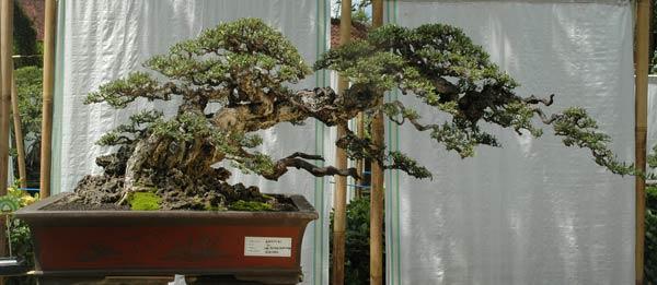 Bonsai exhibition in Tabanan, Bali -03_pe13