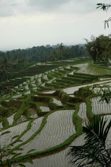 Bonsai exhibition in Tabanan, Bali 510