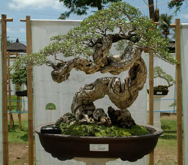 Bonsai exhibition in Tabanan, Bali _20_pe10