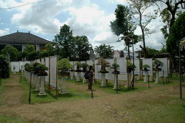 Bonsai exhibition in Tabanan, Bali _2510