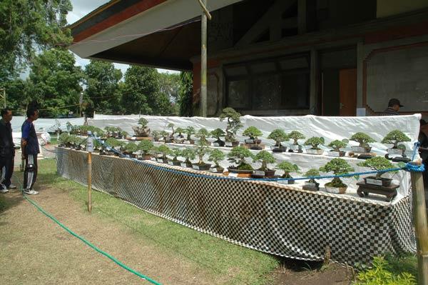 Bonsai exhibition in Tabanan, Bali _2610