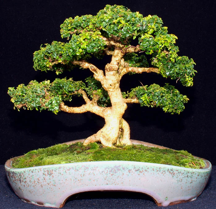 KINGSVILLE BOXWOOD REPOTTED Kv-rep10