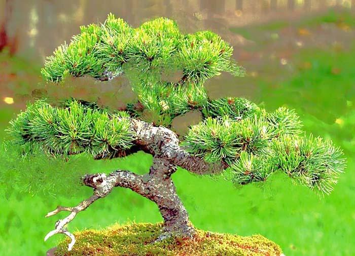 Mugo Pine Needs A New Look Mugo-m11