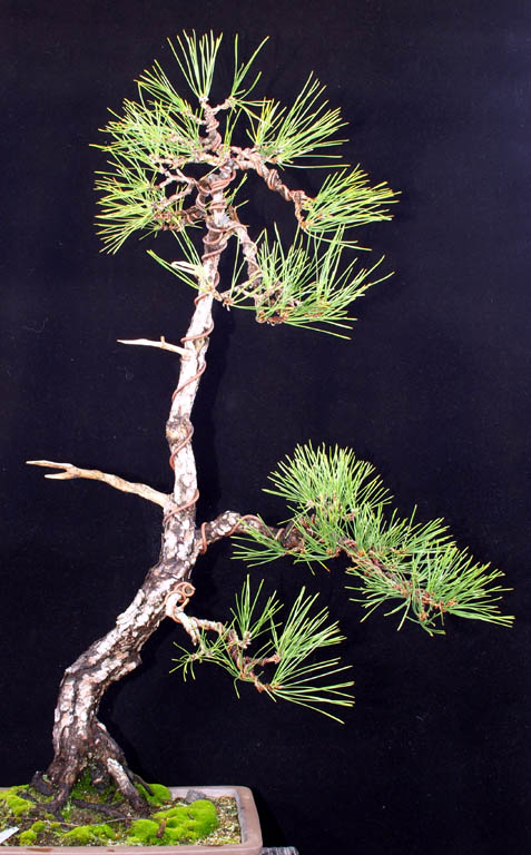 Japanese Black Pine Poll Pine-a11