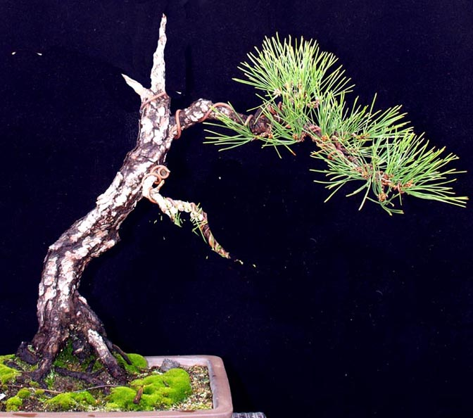 Japanese Black Pine Poll Pine-s10