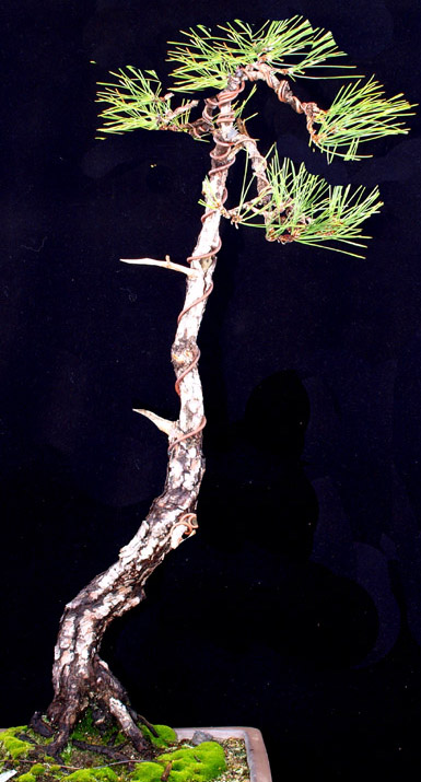 Japanese Black Pine Poll Pine-t10