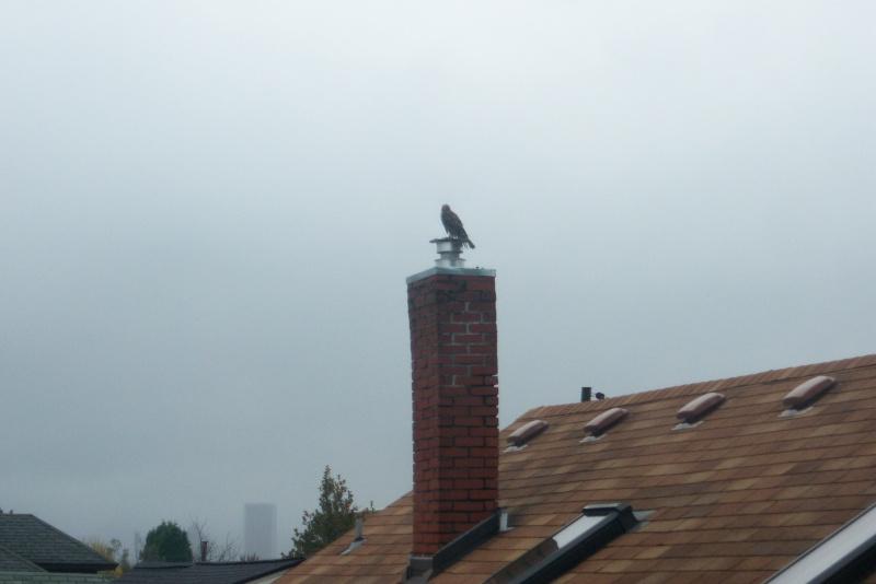 I noticed this Hawk a few minutes ago... 100_2817